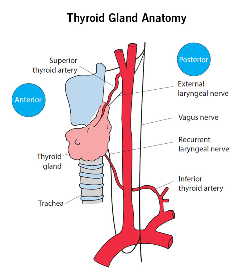 Thyroid Gland Anatomy - Showing Anterior Poster View